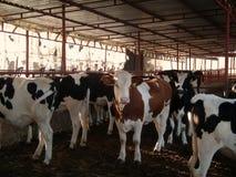 在谷仓的白黑母牛 免版税库存照片