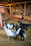 在谷仓里面的农厂山羊 库存照片