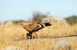 在谷物领域的幼小皇家老鹰 免版税库存照片