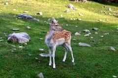 在谷的幼小山鹿 图库摄影