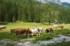 在谷的母牛 免版税图库摄影