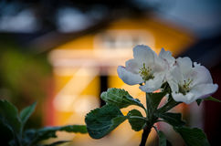 在谷仓前面的Appletree花 库存照片