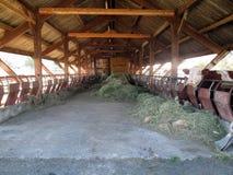 在谷仓房子和母牛里面 免版税库存照片
