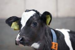 在谷仓神色的黑白小牛 免版税库存图片