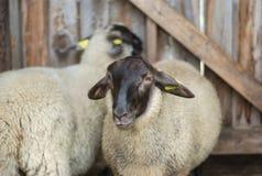 在谷仓黑色头白色毛皮的两只绵羊 免版税库存照片