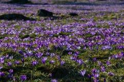 在谷Chocholowska的番红花 库存图片