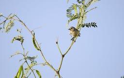 在豆科灌木树,图森亚利桑那沙漠的Lucys鸣鸟 库存图片