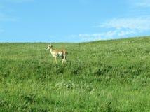 在象草的山坡的Pronghorn 免版税库存照片