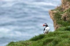 在象草的峭壁的海鹦,冰岛 免版税库存照片