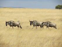 在象草的平原的角马 免版税库存图片