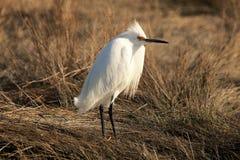 在象草的沼泽的白鹭身分 库存照片