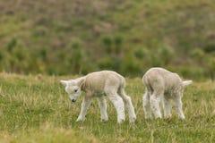 在象草的草甸的两只新出生的羊羔 免版税库存图片