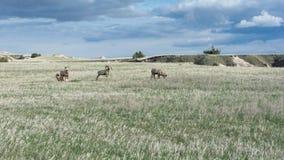 在象草的领域的四只大角野绵羊 免版税库存照片