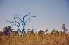 在象草的领域的蓝桉树 免版税库存照片