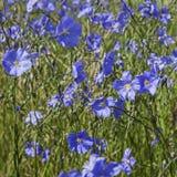在象草的领域的蓝色胡麻 库存图片