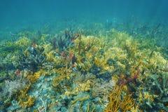 在豪华的五颜六色的珊瑚礁的水下的风景 免版税库存照片