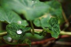 在豪华的春天叶子的雨珠 图库摄影