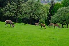 在豪华的绿色牧场地的黄鹿黄鹿 免版税图库摄影
