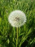 在豪华的绿草背景的明亮的白色蓬松蒲公英  免版税库存照片