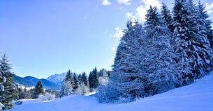 在贝卢诺白云岩的积雪的冷杉 免版税图库摄影