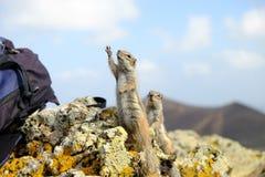 在费埃特文图拉岛,西班牙的非洲地松鼠 免版税库存图片