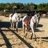 在赛跑前的两个白马 免版税库存图片