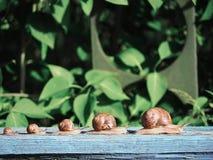 在赛跑在木头的绿色backgroud的蜗牛褐色 库存图片