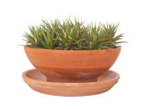 在赤土陶器罐的Haworthia attenuata 免版税库存照片