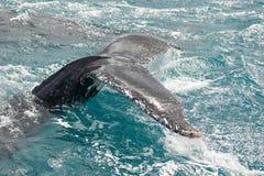 在赫维海湾的鲸鱼在澳大利亚 免版税图库摄影
