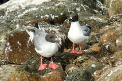 在赫诺韦萨岛,加拉帕戈斯的燕尾状鸥 免版税库存照片