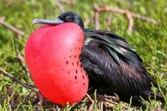 在赫诺韦萨岛,加拉帕戈斯的男性伟大的Frigatebird全国Pa 免版税库存图片