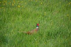 在走在农田的高草的野鸡 库存图片