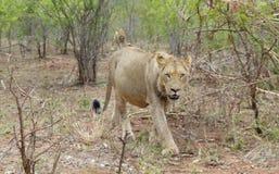 在走在往照相机的灌木之间的彼此后的两只雌狮 图库摄影