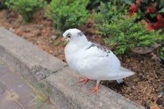 在走的城市道路边的鸽子 库存照片