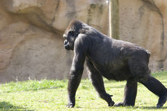 在走的大gorila草 图库摄影