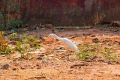 在走的白色白鹭鸟在动物园非常好晴天 免版税库存照片