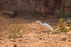 在走的白色白鹭鸟在动物园非常好晴天 图库摄影