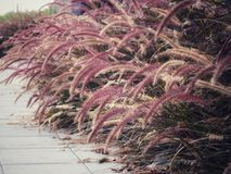 在走道边缘的Desho草在爱,乡情,关心和幸福的概念的葡萄酒颜色 免版税图库摄影