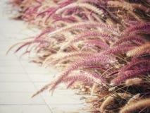 在走道边缘的Desho草在爱,乡情,关心和幸福的概念的葡萄酒颜色 免版税库存图片