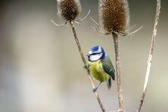 在起毛机种子头的蓝冠山雀 免版税图库摄影