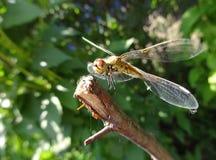 在起飞前的蜻蜓在一个分支在晴天 图库摄影