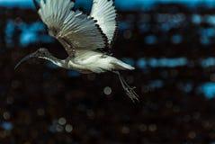 在起飞的Hadida朱鹭 免版税库存图片