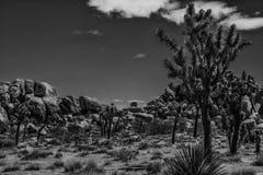 在超大岩石的约书亚树 免版税库存照片