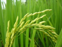 稻在越南 免版税库存图片