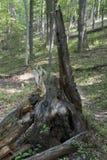 在足迹旁边的烂掉树桩 库存照片
