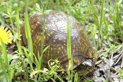 在足迹的小盒子乌龟 免版税库存照片