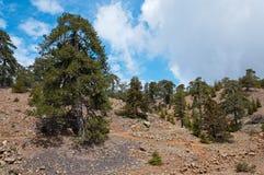 在足迹的巨大的孤独的老杉木高在Troodos 库存图片