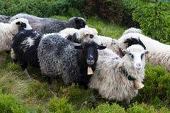 在足迹的绵羊在山 免版税库存照片