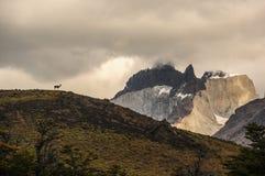 在足迹的骆马在托里斯del潘恩国家公园,智利 观看山风景的羊魄在多云多雨天空下 库存照片