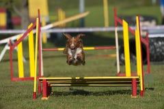 在跃迁的新斯科舍鸭子敲的猎犬在敏捷性路线 图库摄影